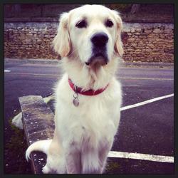 Daiko, chien Golden Retriever