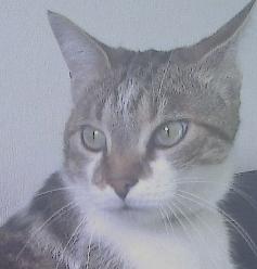 Daiky, chat Européen