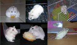 Dipsy, rongeur Hamster