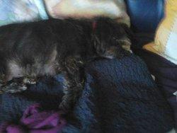 Daisie, chien Griffon belge