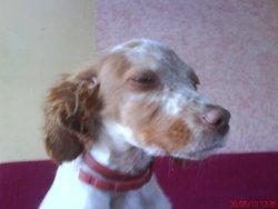 Daissy, chien Épagneul breton