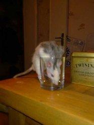 Daisuki, rongeur Rat