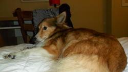 Daisy, chien Berger des Shetland