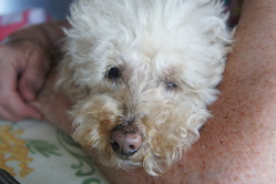 Daisy, chien Caniche