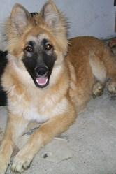 Daisy, chien Berger belge