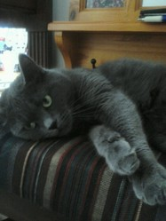 Daisy, chat Chartreux