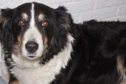 Daisy, chien Border Collie