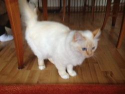 Daisy, chat Birman