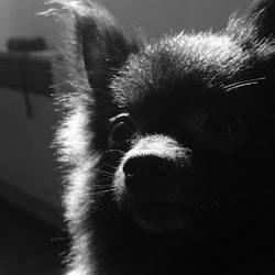 Daisy, chien Spitz allemand
