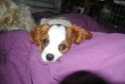 Malou, chien Cavalier King Charles Spaniel