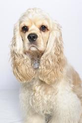 Daisy, chien Cocker américain