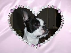 Daisy, chien Terrier de Boston