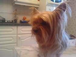 Daisy, chien Yorkshire Terrier