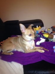 Daisy, chien Chihuahua