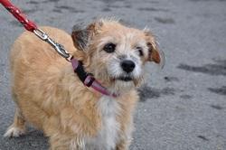 Daisy , chien Griffon fauve de Bretagne