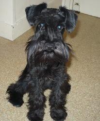 Daisy, chien Schnauzer