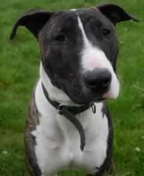 Daisy, chien Bull Terrier