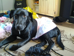 Daisy, chien Labrador Retriever