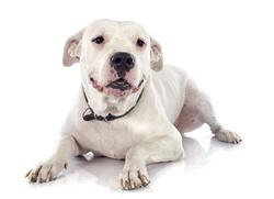Daisy, chien Dogue argentin