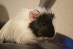 Daisy , rongeur Cochon d'Inde