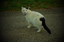 Daisy, chat Européen