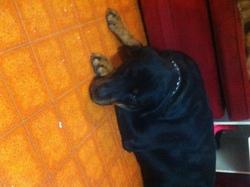 Daisy, chien Rottweiler