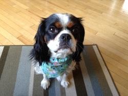 Daisy, chien Cavalier King Charles Spaniel
