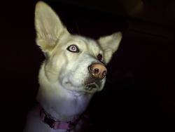 Daisy, chien Husky sibérien