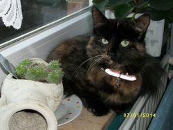 Daisy, chat Angora turc