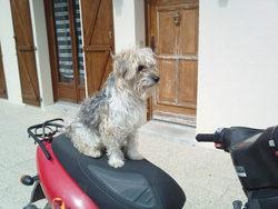 Daisy, chien Fox-Terrier
