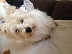 Daisy, chien West Highland White Terrier