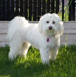 Daisy, chien Bichon maltais