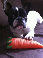 Daisy, chien Bouledogue français