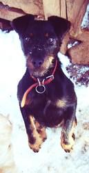 Daisy, chien Jagdterrier