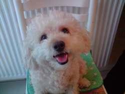 Daisy, chien Bichon à poil frisé