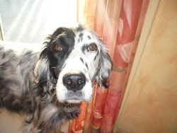 Daisy, chien Setter anglais