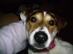 Daisy, chien Jack Russell Terrier