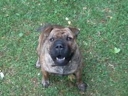 Daisy, chien Shar Pei