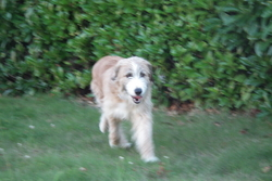 Daisy, chien Griffon belge