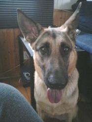 Daisy, chien Berger allemand