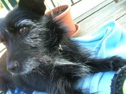 Daisy, chien Cairn Terrier