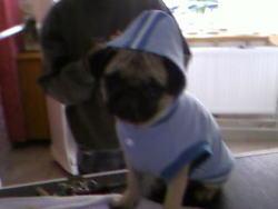 Daisy, chien Carlin