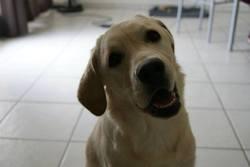 Daizy, chien Labrador Retriever