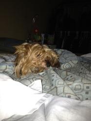Daizy, chien Yorkshire Terrier