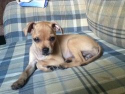 Daizy, chien Chihuahua