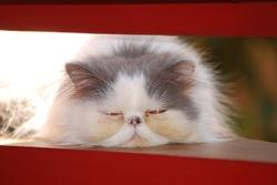 Daizy , chat Persan