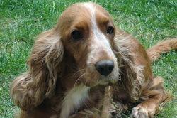 Daizy, chien Cocker anglais
