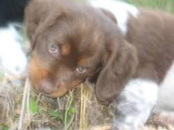 Daizy, chien Épagneul breton