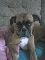 Daizy, chien Boxer