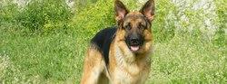 Dakar, chien Berger allemand